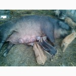 Поросята венгерської мангалиці, свиноматки