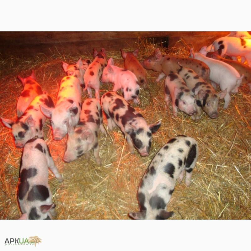 красная белопоясая порода свиней фото
