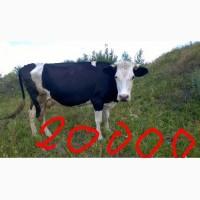 Корова черно- ряба молочна