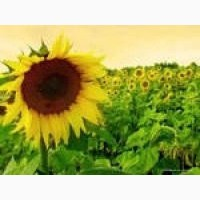 Насіння соняшнику - Українське сонечко / Ультраскоростиглий, посухостійкий гібрид