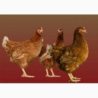 Суточные цыплята кур породы Ломанн браун