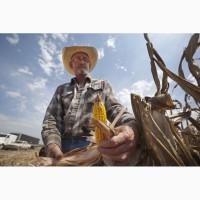 Семена канадской кукурузы Солар Сидс и Джи Хост