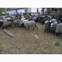 Продам стадо овец романовкая порода 240 голов