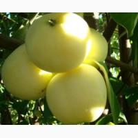 Продаем яблоки со своего сада - Снежный Кальвиль, Зимнее Лимонное