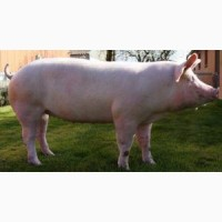 Продам свиней 80-100 кг., 46 грн. за 1 кг. живого веса