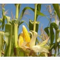 Гибрид ДН Аншлаг ФАО 420 семена кукурузы