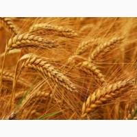 Семена пшеницы НЕДРА элита 1 репрод
