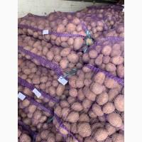 Продам Продовольственную картошку, сорт Гала, Бриз, Королева Анна, РедСкарлет, Санте, Скарб