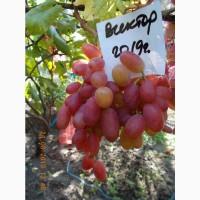Виноград саженец Виктор