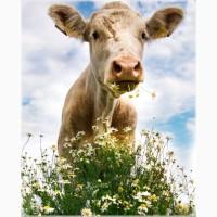 Закупаем коров, Быков, молодняк, Баранов, коней