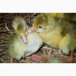 Суточный молодняк гусей породы «Легарт»