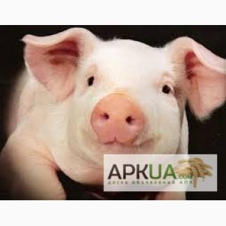 Продам свиней