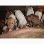 Продам поросят мясной породы