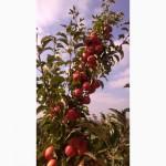Домашние яблоки разных сортов из села