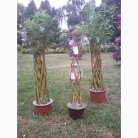 Зелена Корона західна пальма, живе плетене дерево, (датське коріння)