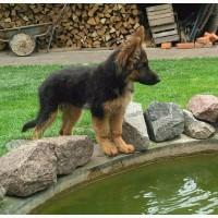 Продаются щенки немецкой овчарки с родословной длинношерстные