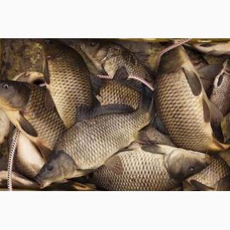 Карп. Живая рыба