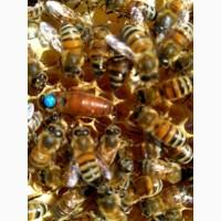 Пчеломатки Бакфаст.Одесса