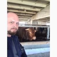 Бычки мясных пород продаём