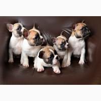 Элитные щенки французского бульдога