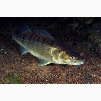 Личинка судака лучшее решение проблем сорной рыбы