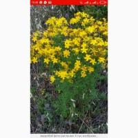 Закупаю цвет ромашки, лист крапивы, лист кульбабы, траву пустырника.Круглый год