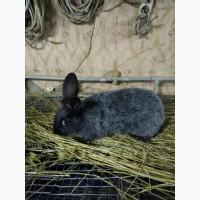 Продам кролей серебро