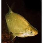 Продам речную охлажденную и с/м рыбу: тарань, лещ, подлещ, густеру, судак, синец, окунь