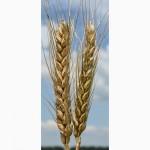 Продам семена пшеницы озимой (мягкой) Благодарка Одесская (1 репродукция)