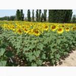 Продам семена подсолнечника Серджио ШТ