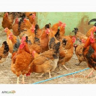 Цыплята молодняк Кучинская Юбилейная