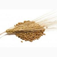 Предприятие производит закупку Пшеницы с хозяйств а также с єливаторов