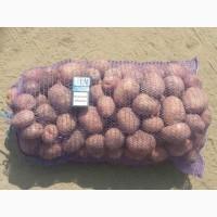 Продам картофель оптом, сортов Белароса, Ривьера