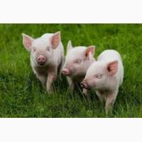 Продам свиней живым весом, откорм
