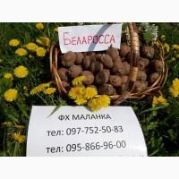 Продаем семенной картофель Беллароса I и II репродукции. Отправка по всей Украине