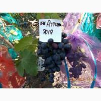 Виноград саженец кишмиш Аттика
