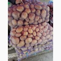 Продам картошку оптом в больших количествах семенная и товарная
