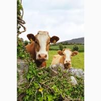 Мясной мир закупает говядину у населения по приятным ценам