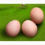 Яйця курячі інкубаційні Росс-308