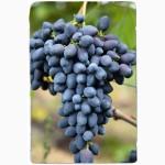 Купить саженцы винограда - лучшие сорта винограда почтой по Украине!