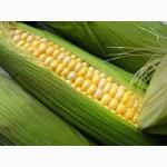 Куплю кукурузу по Луганской области - регулярно