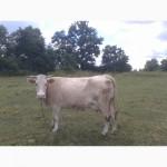Продається корова на 7-му місяці тільності. СРОЧНО