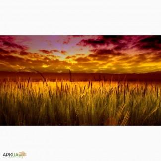 На постоянной основе закупаем Пшеницу разноклассовую