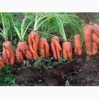Куплю морковь на корма