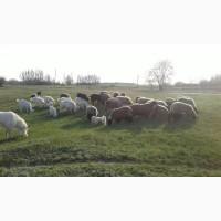 Продам отару овец