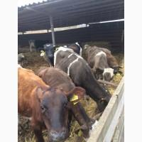 Продам КРС (коровы, быки, тёлки, телята)