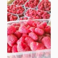 Компания ЯгодНик заключит договор по поставке малины сорта Полка