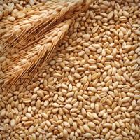 Куплю зернові, бобові. Продати некондицію, зерносуміші