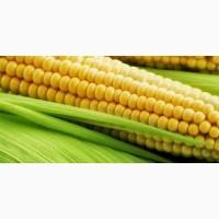Крупным оптом закупаем кукурузу