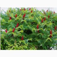 Уксусное дерево сумах оленерогий саженцы купить Украина, Донецкая область